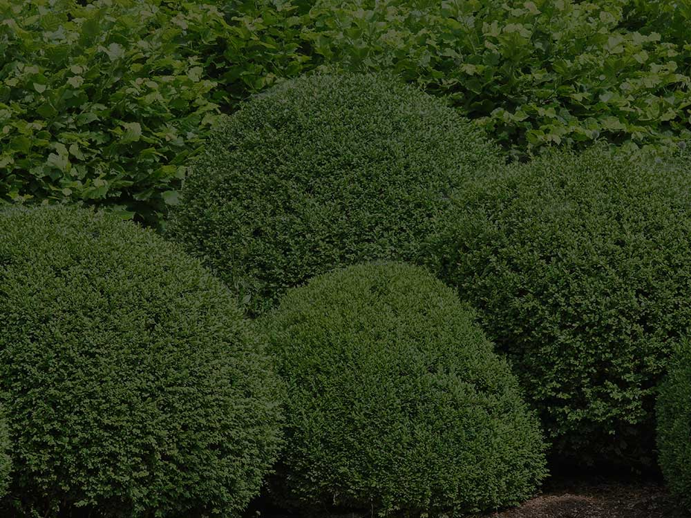 Hoover Shrubs and Hedges