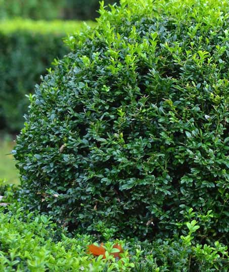 Alabama Greenscapes, LLC Shrubs & Hedges